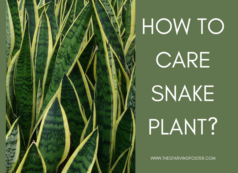 how to care snake plant?