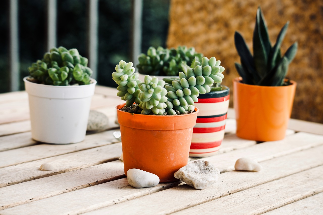 where to growing succulent