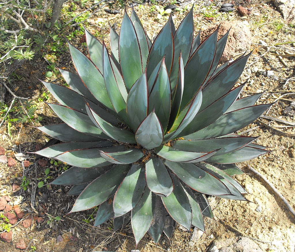 agave blue glow care