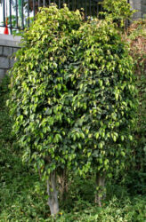 Is Weeping Fig plant Poisonous to Cats and Dogs?