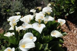 is Calla lily  toxic for pets