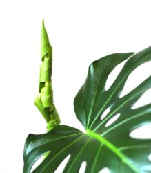 is philodendron plant toxic for pets